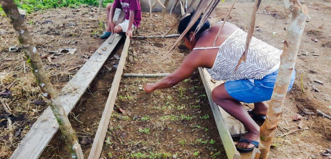 Moskitia: El programa PRAWANKA de la COSUDE apoya la siembra de granos básicos