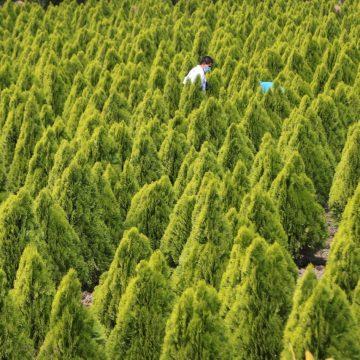 Villa de San Antonio: Siembran 2,986 cipreses para hacer un laberinto. ¡Una idea realmente genial!